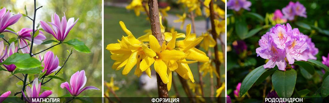 Магнолия, форзиция, рододендрон цветение апрель,май, фото