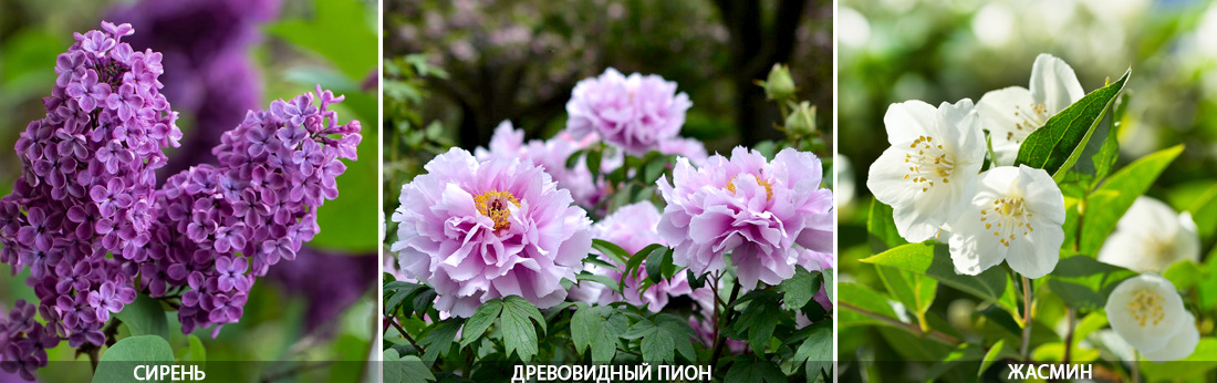 Сирень, древовидный пион, жасмин, цветение апрель,май, фото