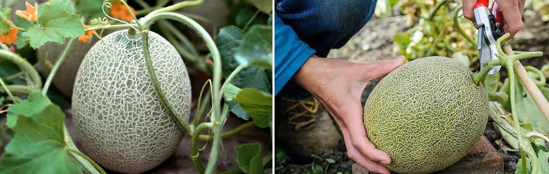 Дыня, агротехника выращивания фото