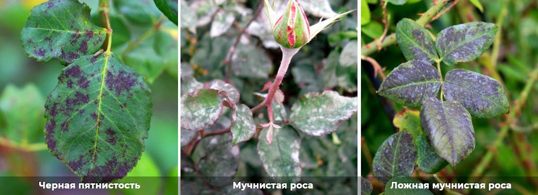 Черная пятнистость роз, мучнистая роса фото