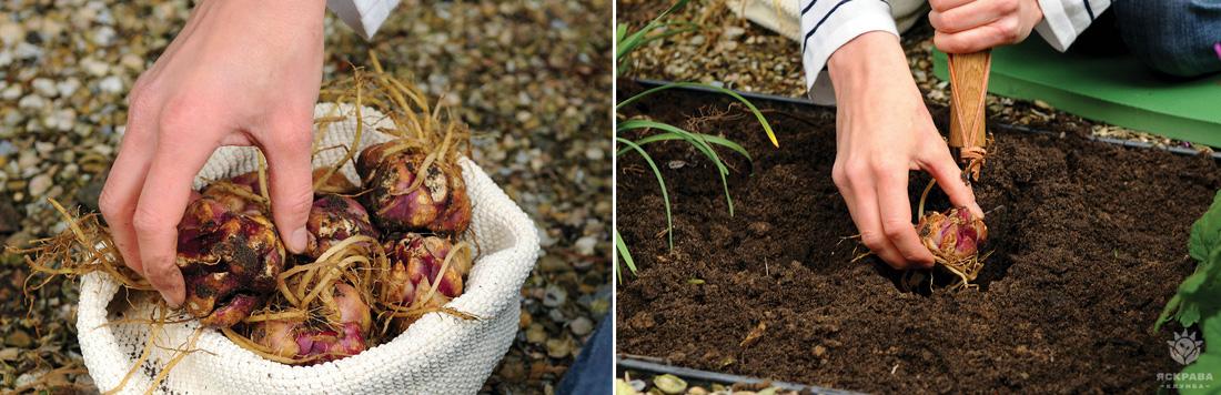 Лілії Мартагон, посадка, вирощування, догляд, фото
