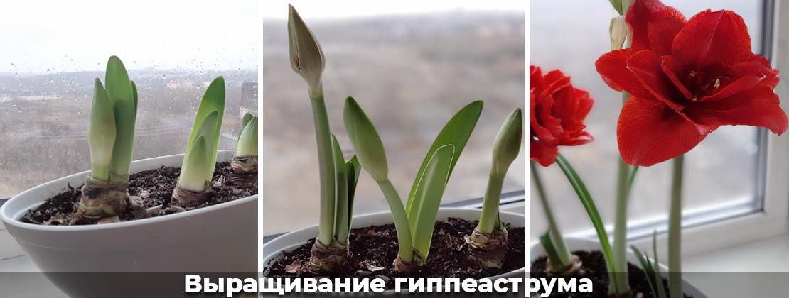 Выращивание гиппеаструма, фото