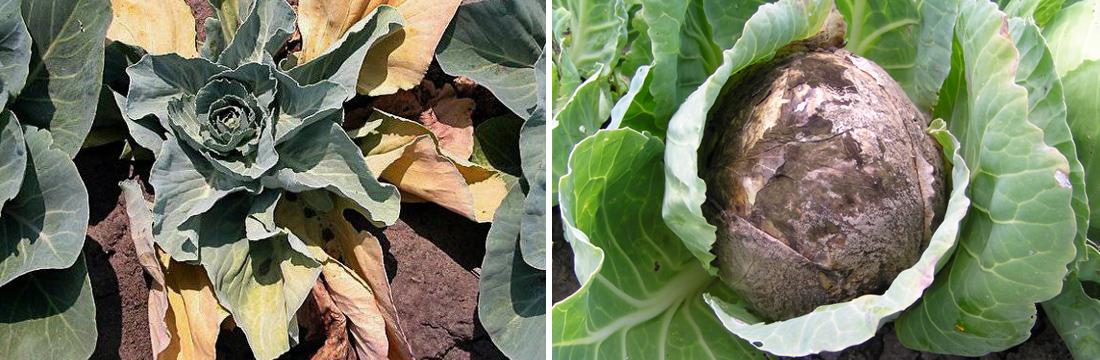 Фузаріоз капусти, фото