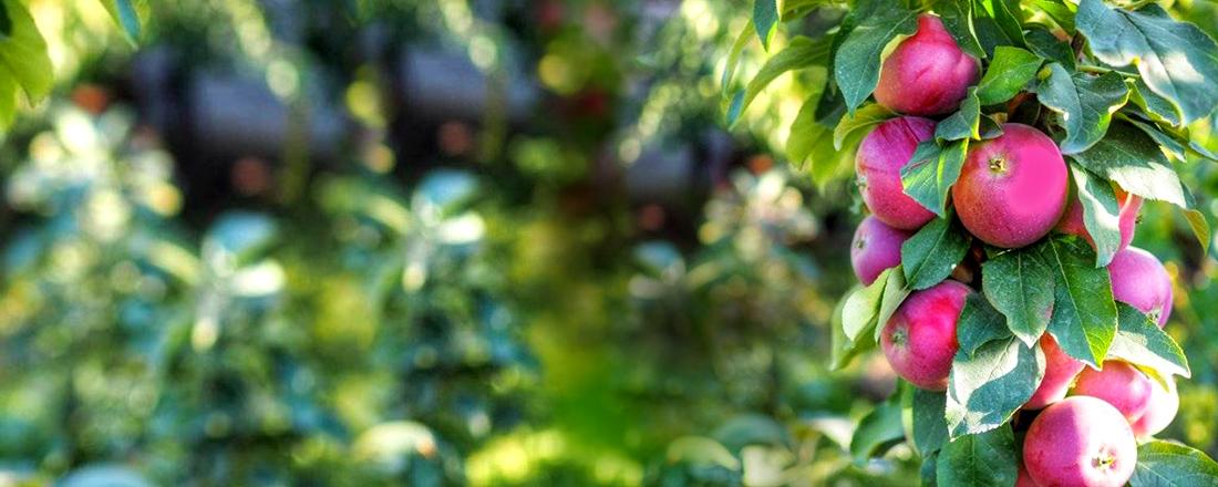 Колоновидные деревья, особенности и выращивание фото