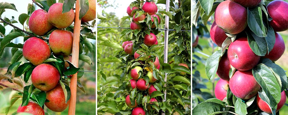Колоновидные яблони, фото