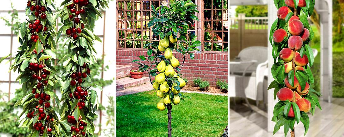 Колоновидные вишни, груши, персики, фото