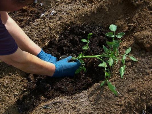 Агротехника выращивания томатов