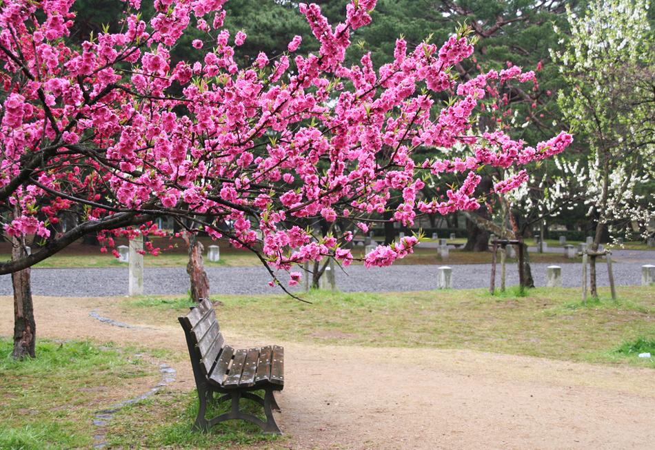 Посадка саженцев вишни, уход и выращивание, видео