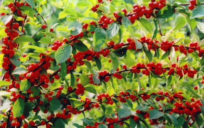 Войлочная вишня описание, фото