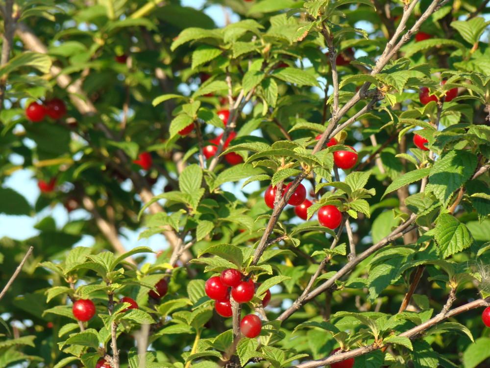 живая изгородь из войлочной вишни Prunus tomentosa