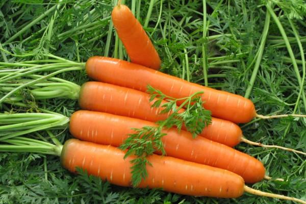 Агротехніка вирощування моркви: запасаємося вітамінами