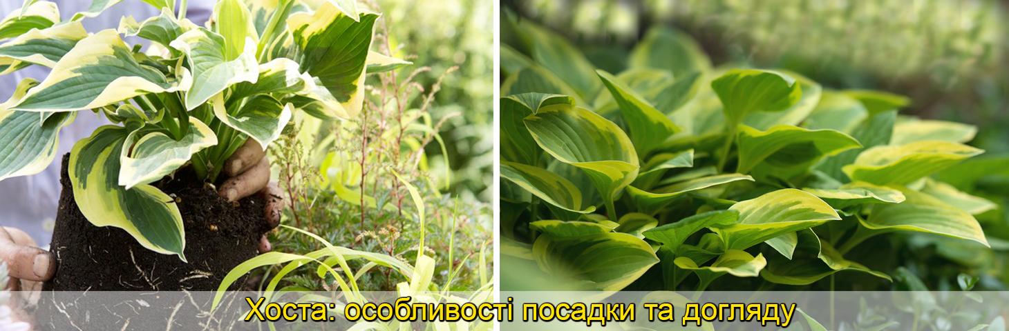 Хоста в саду агротехника, особенности выращивания