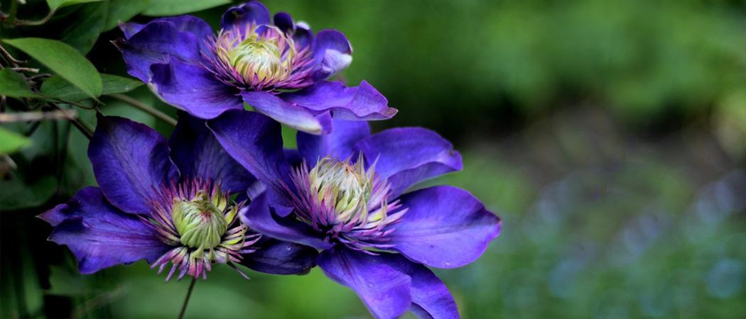 Клематисы махровые цветение, фото