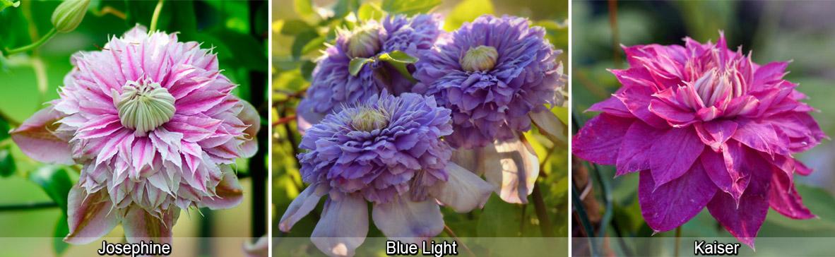 Клематисы махровые цветы Жозефина, Кайзер, Блю Лайт, фото