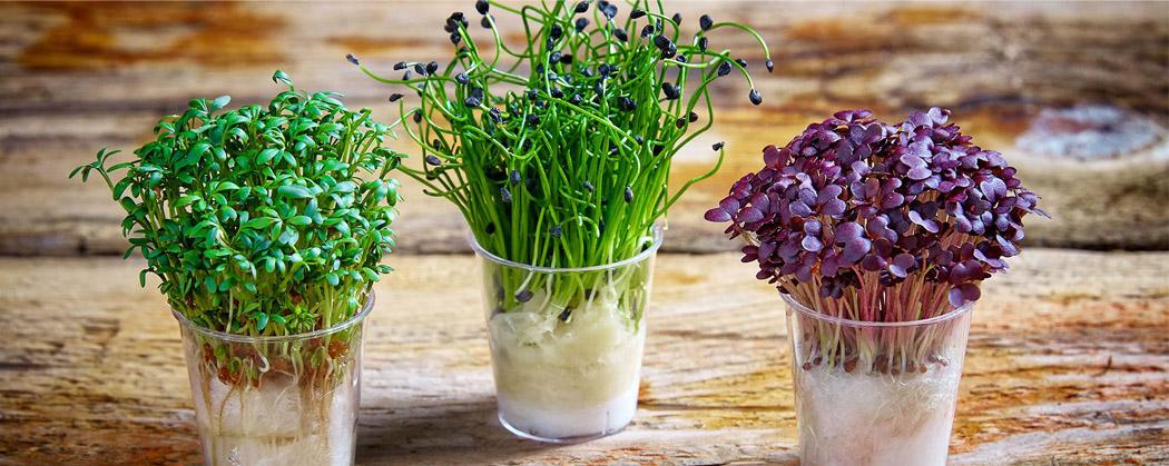 Микрогрин, микрозелень, правила выращивания