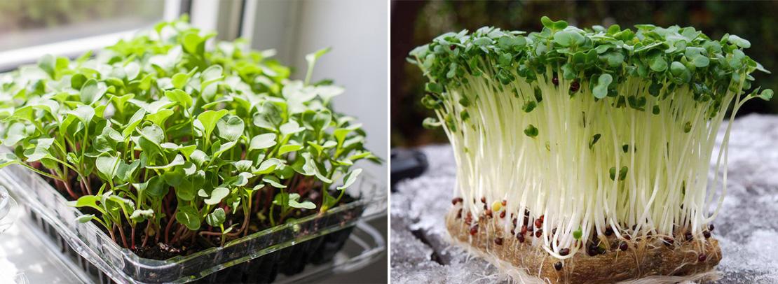 Посадка семян на микрогрин, микрозелень, фото