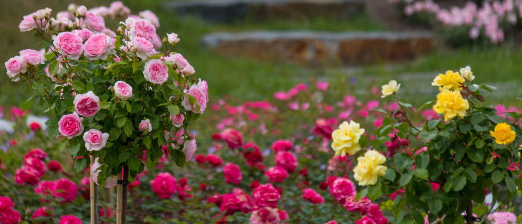 Розы на штамбе подготовка к зиме