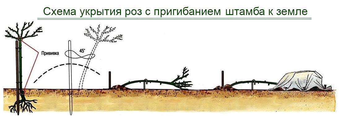 Схема укрытия роз с пригибанием штамба к земле, фото