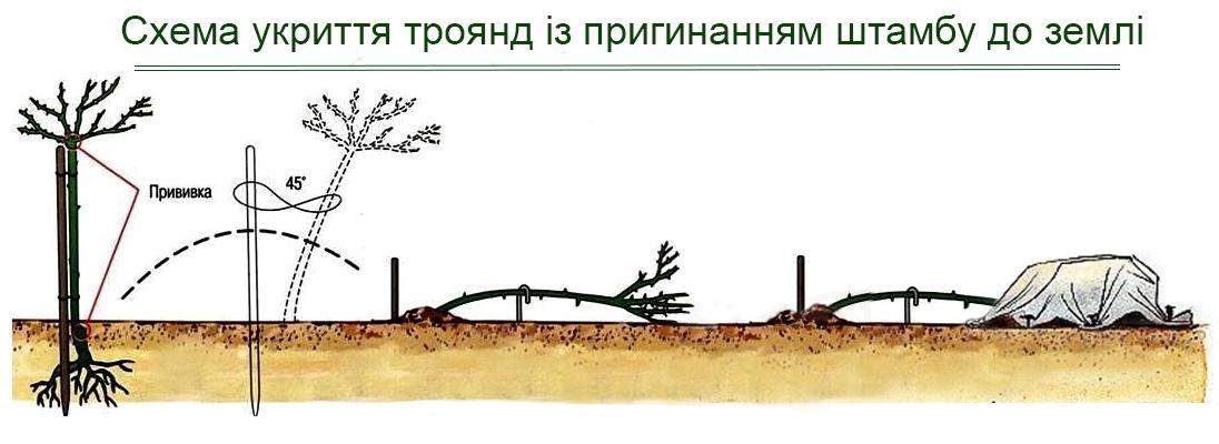 Схема укриття троянд з пригибанням штамба до землі, фото