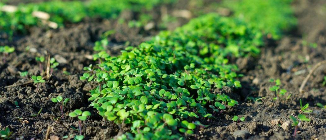 Сидераты правила посадки и выращивания, фото