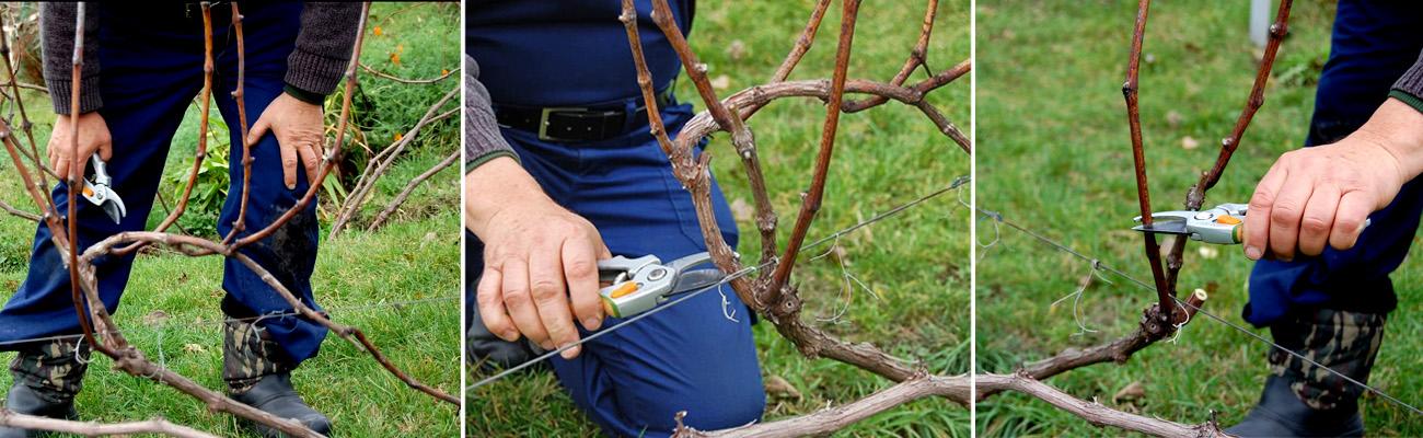 Схема обрезки винограда на зиму