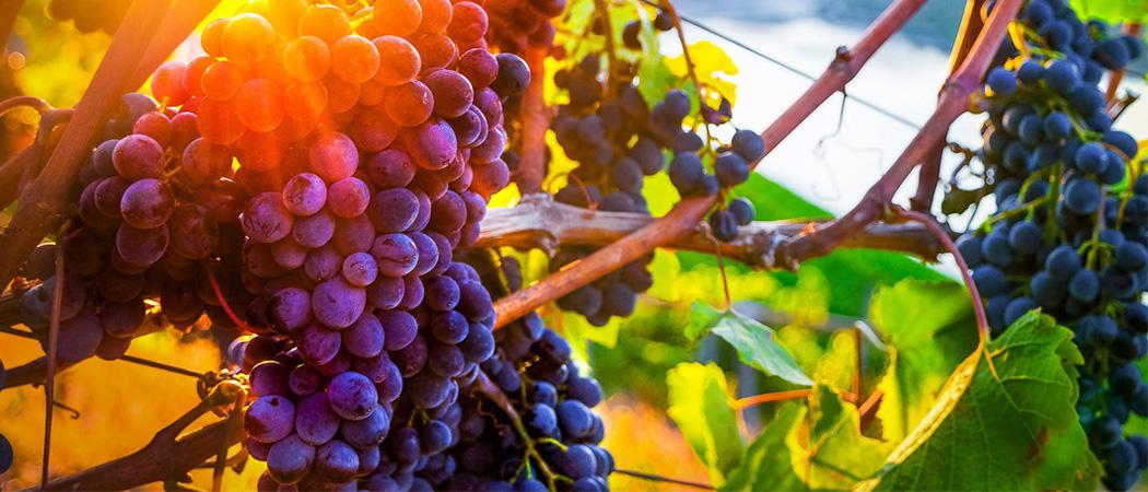 Обрезка винограда осенью, главные правила