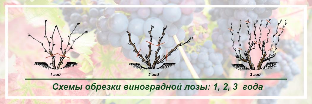 Виноград схема обрезки 1,2,3 годов
