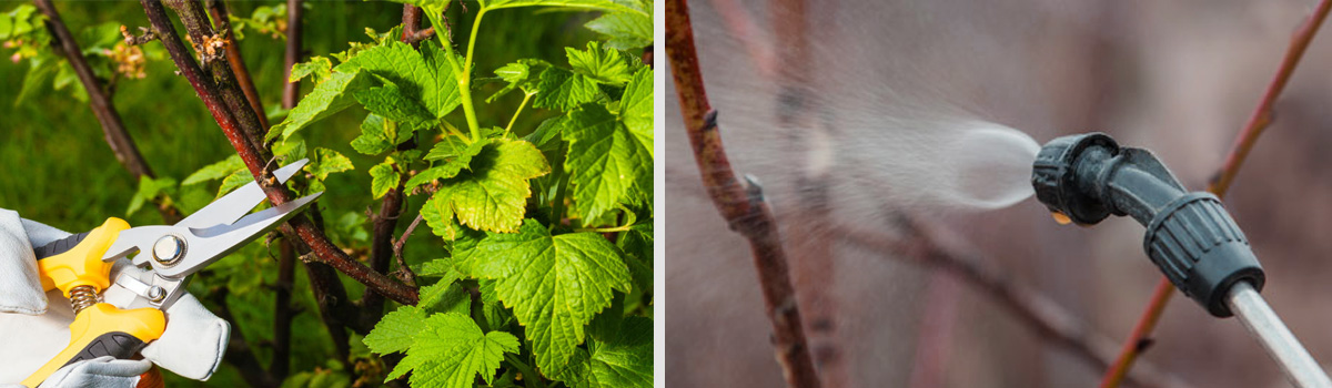 Ягодные кустарники на штамбе: обрезка, опрыскивание осенью