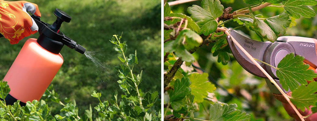 Обрізка  ягідних чагарників восени і обробка фунгіцидами