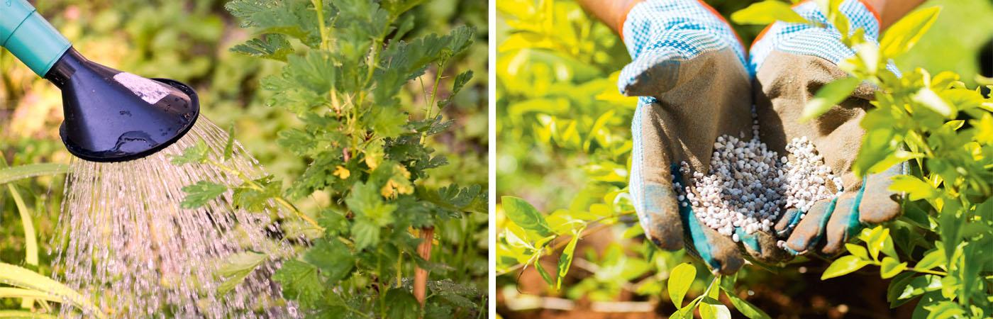 Ягідні кущі підгодівля і полив восени
