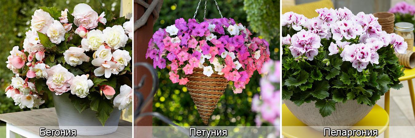 Петуния, бегония, пеларгония из семян, фото